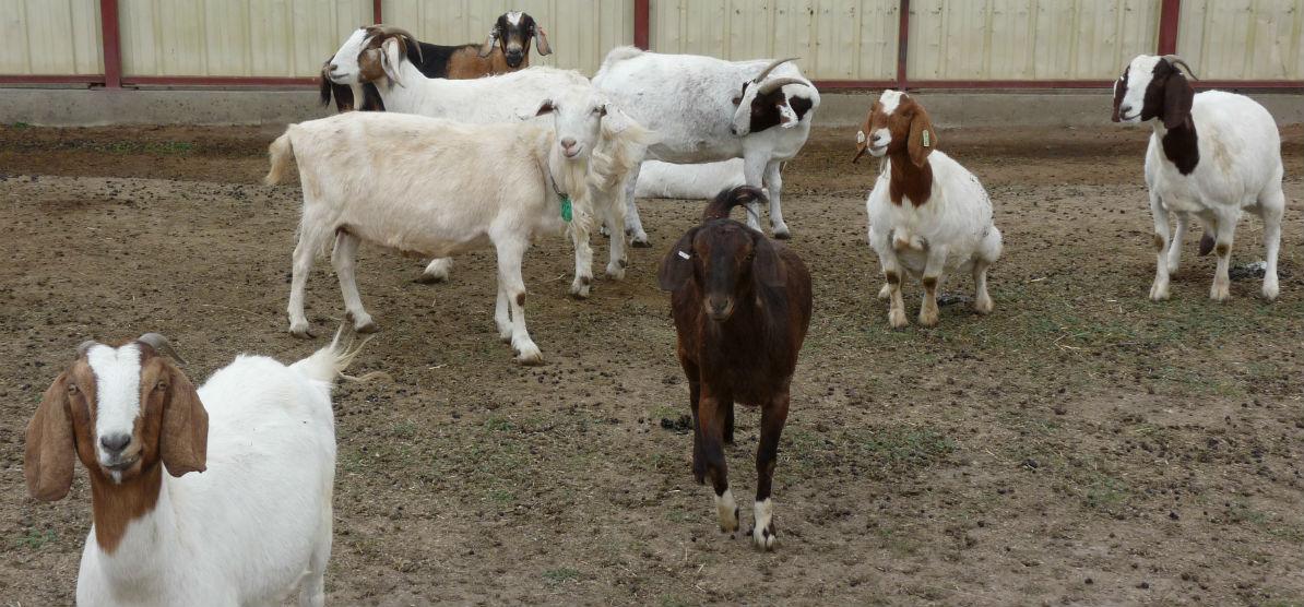 goat-slide